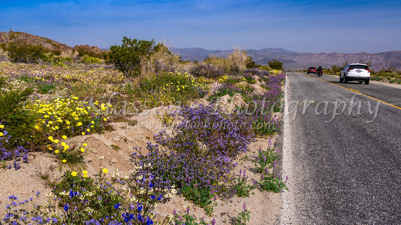 A park roadway with spring wildflowers blooming in Joshua Tree National Park, California, USA.