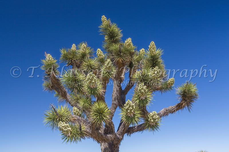 Joshua trees blooming in Joshua Tree National Park, California, USA