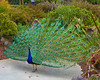 Peacock - 8