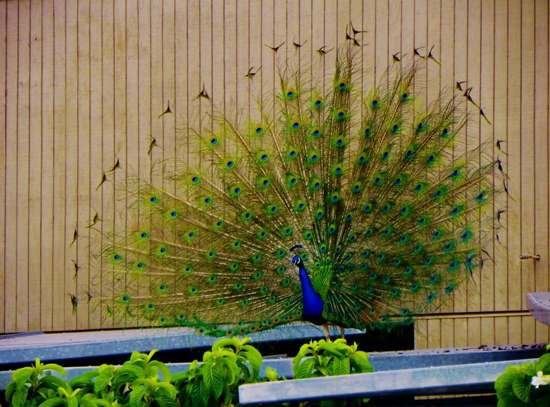 Peacock - 4