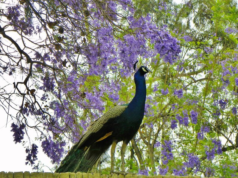 Peacock - 2