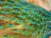 Peacock - 7