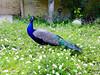 Peacock - 3