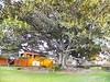Moreton Bay Fig - 3