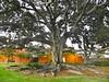 I have an affection for Moreton Bay Fig trees