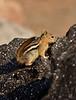 Golden-mantled Ground squirrel Lassen NP CA (12)