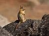 Golden-mantled Ground squirrel Lassen NP CA (22)
