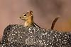 Golden-mantled Ground squirrel Lassen NP CA (11)
