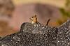 Golden-mantled Ground squirrel Lassen NP CA (10)