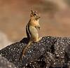 Golden-mantled Ground squirrel Lassen NP CA (23)