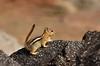 Golden-mantled Ground squirrel Lassen NP CA (17)