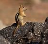 Golden-mantled Ground squirrel Lassen NP CA (19)