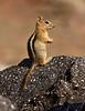 Golden-mantled Ground squirrel Lassen NP CA (18)