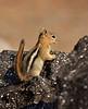 Golden-mantled Ground squirrel Lassen NP CA (14)