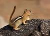 Golden-mantled Ground squirrel Lassen NP CA (16)