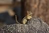 Golden-mantled Ground squirrel Lassen NP CA (15)