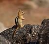 Golden-mantled Ground squirrel Lassen NP CA (20)