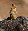 Golden-mantled Ground squirrel Lassen NP CA (21)