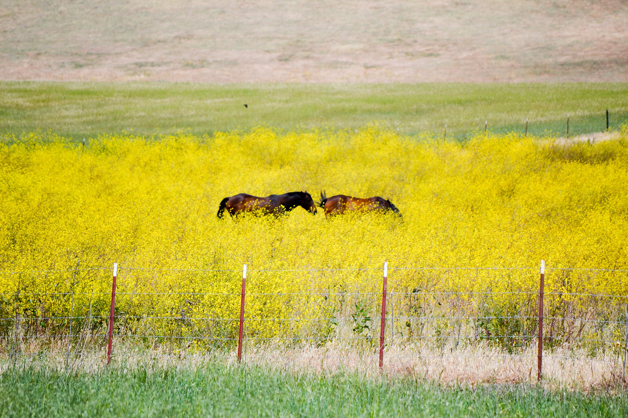 Horses in mustard field, at the bend where Manning Ave becomes N. Livermore Ave.