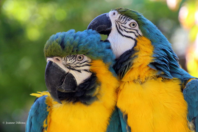 Lodi California, Resident Macaw Parrots, Wine & Roses Resort & Spa