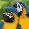 Lodi California, Resident Macaw Parrots, Wine & Roses Resort & Spa