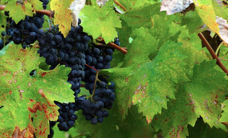 Lodi California, The Lucas Winery, Zinfandel Grapes