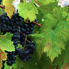 Lodi California, The Lucas Winery, Zinfandel Grapes