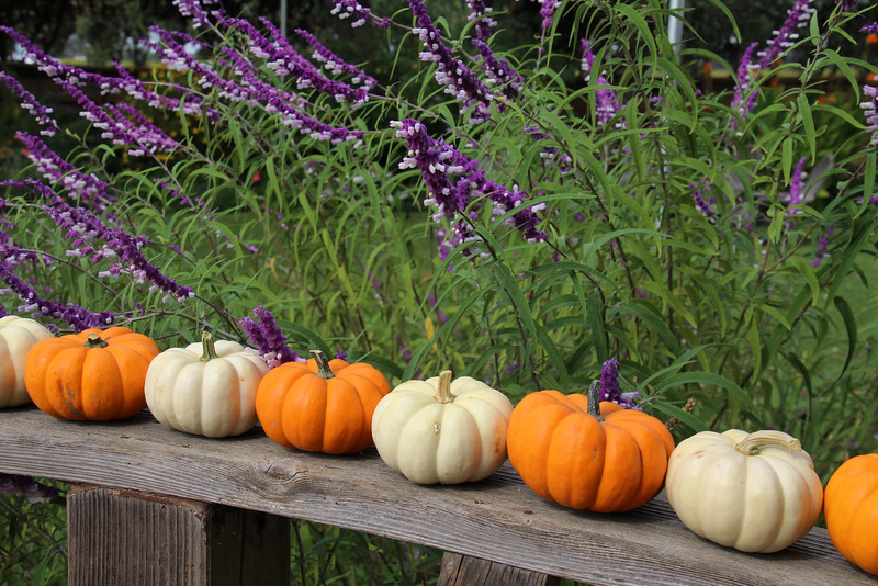 Lodi California, Michael David Winery, Pumpkins