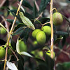 Lodi California, Cecchetti Olive Oil Farm, Olives on Tree
