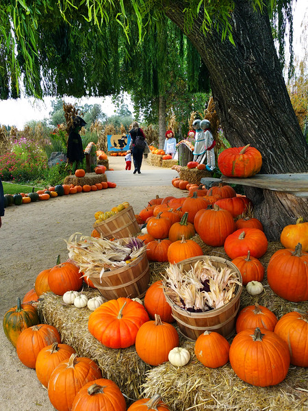 Lodi California, Michael David Winery Pumpkin Patch