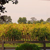 Lodi California, Autumn Vineyards