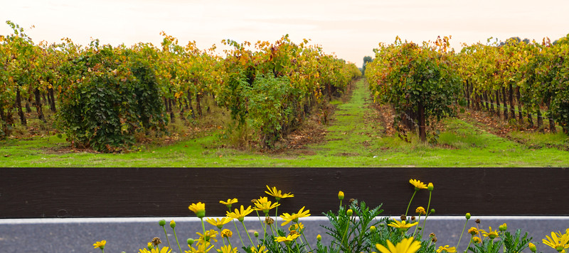 Lodi California, Autumn Vineyard Panorama
