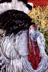 Tom Turkey! (HDR enhanced)