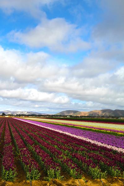Lompoc California, Flower Fields