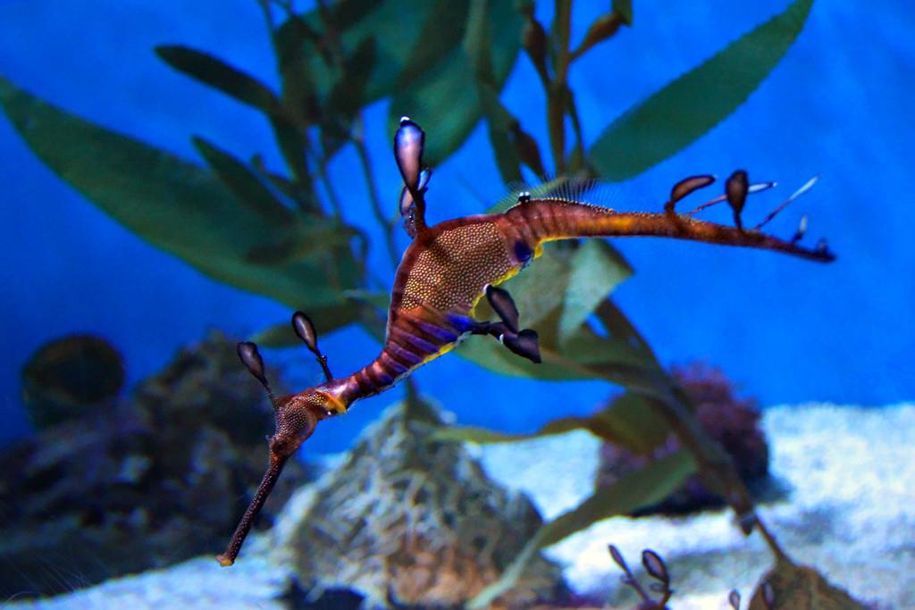 Weedy Sea Dragon Aquarium of the Pacific/Long Beach Ca.