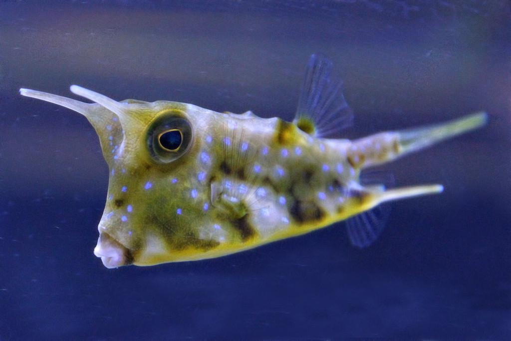 Long Horn Cowfish