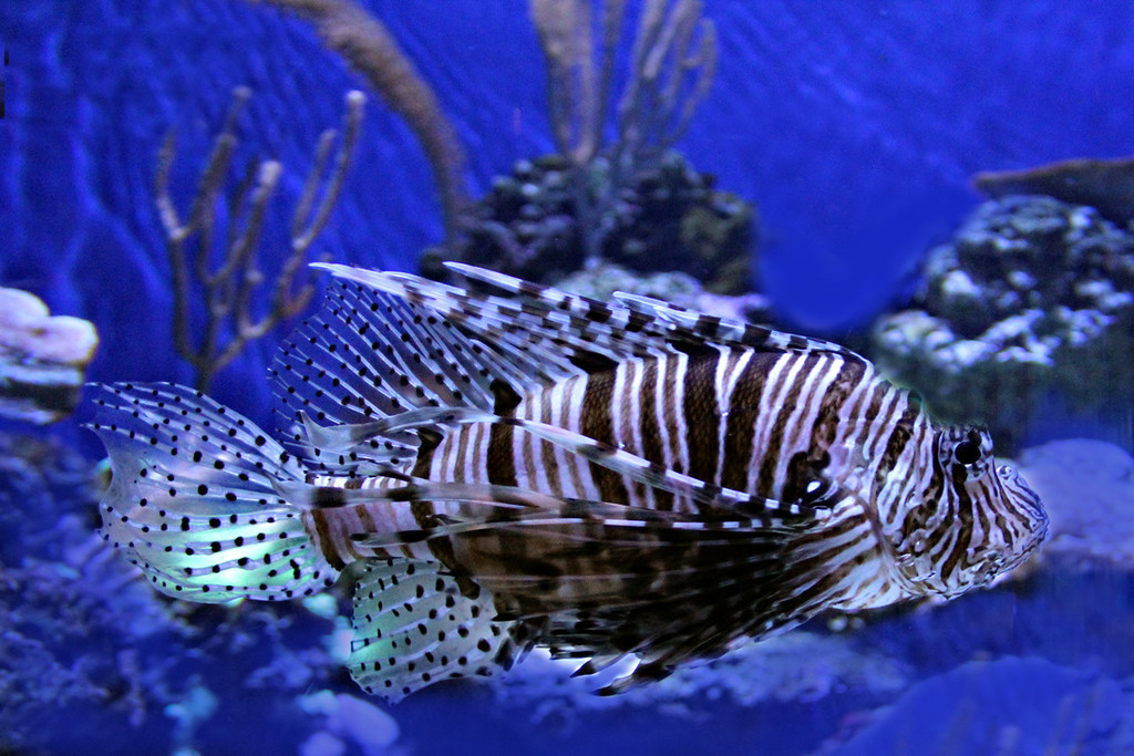 Lion Fish  Aquarium of the Pacific/Long Beach Ca.