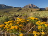 Convict Lake Rd, Mt Morrison and green rabbitbrush early morning (6)