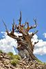 Eastern Sierras, California. Ancient Bristlecone Pine Forest