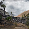 141 - East Bay Reagional Park, CA (Black Diamond Mines, Antioch) Manzanita Ruin - The old, the decayed, the departed.... there is a beauty it creates all of its own.   Surrounded by new life, the everchanging landscape slowly relinquishes the residents of it's past to a future of a different sort.