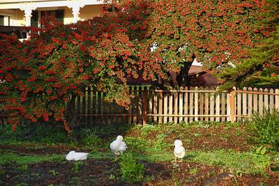 garden-ducks
