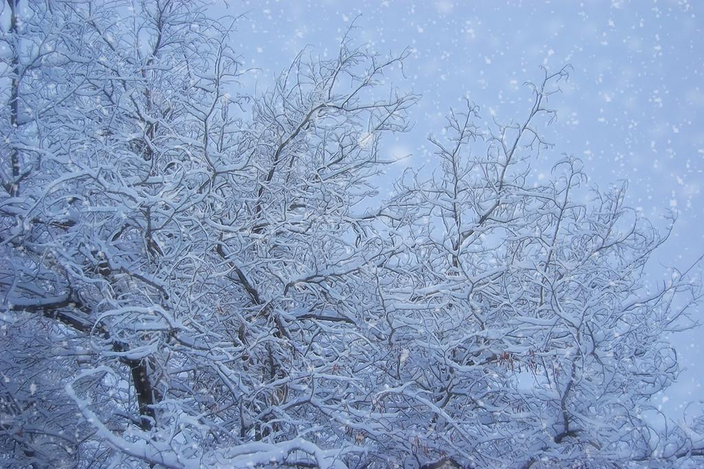 Snowy Trees at Dawn