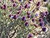 Desert Purple Sage, Salvia sp, Mojave Natl Preserve CA (5)