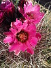 Hedgehog cactus, Rainbow Basin Natural Area, Barstow CA (6)
