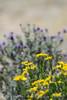 Goldenbush and purple sage, Mojave Natl Preserve CA (2)