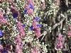 Desert Purple Sage, Salvia sp, Mojave Natl Preserve CA (7)