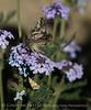 Moth on Gooding's Verbena, Mojave Natl Preserve CA (3)
