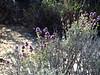 Desert Purple Sage, Salvia sp, Mojave Natl Preserve CA (1)