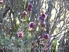 Desert Purple Sage, Salvia sp, Mojave Natl Preserve CA (4)