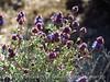 Desert Purple Sage, Salvia sp, Mojave Natl Preserve CA (3)